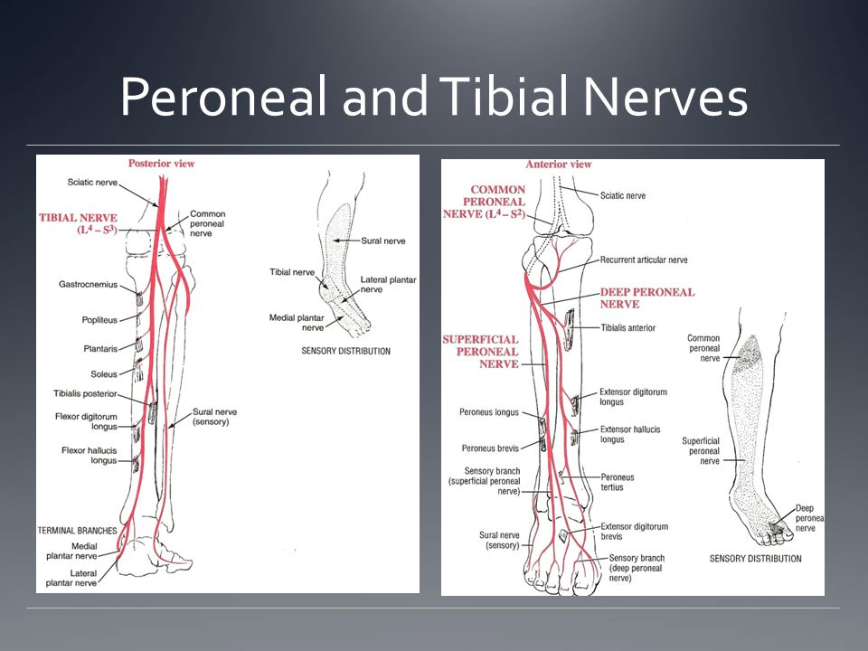 Peroneal and Tibial Nerves