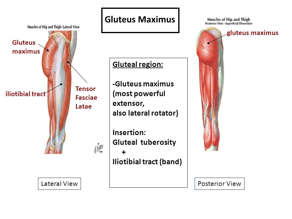 Muscles of the Gluteal Region - ppt download