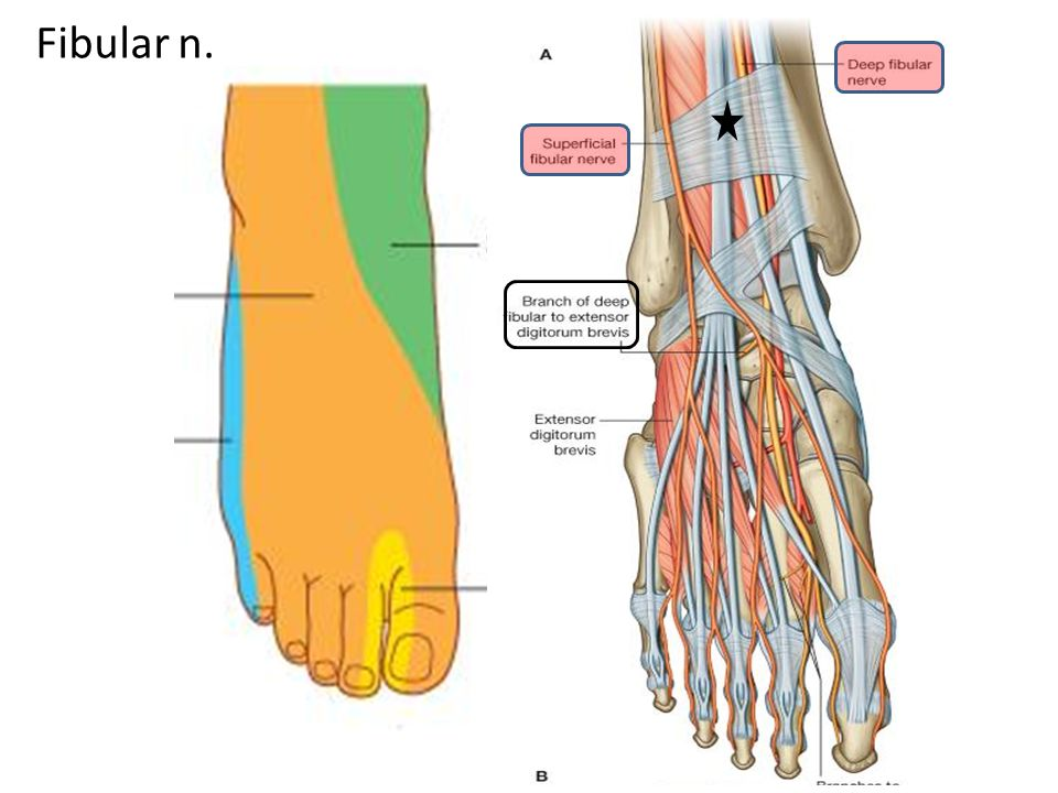 The Foot Bones Joint Muscles Artery Nerves Ppt Video Online
