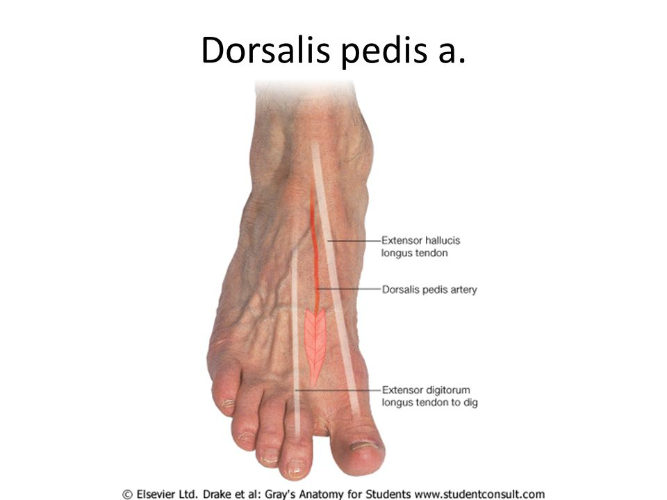 The Foot Bones Joint Muscles Artery & Nerves. - ppt video online ...