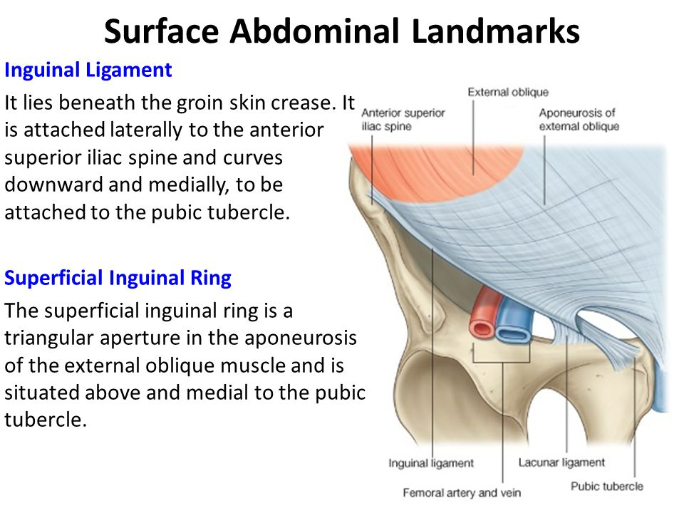 Awesome Pubic Tubercle Surface Anatomy Collection - Anatomy And ...