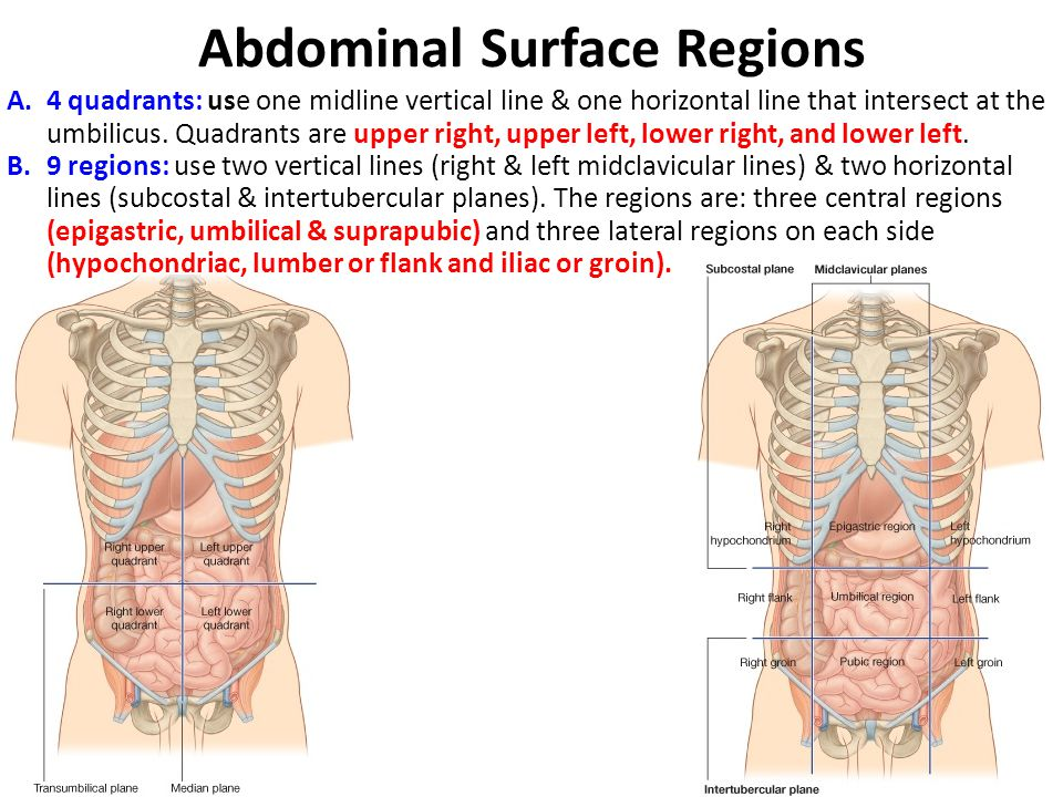 Posterior Abdominal Wall - ppt video online download