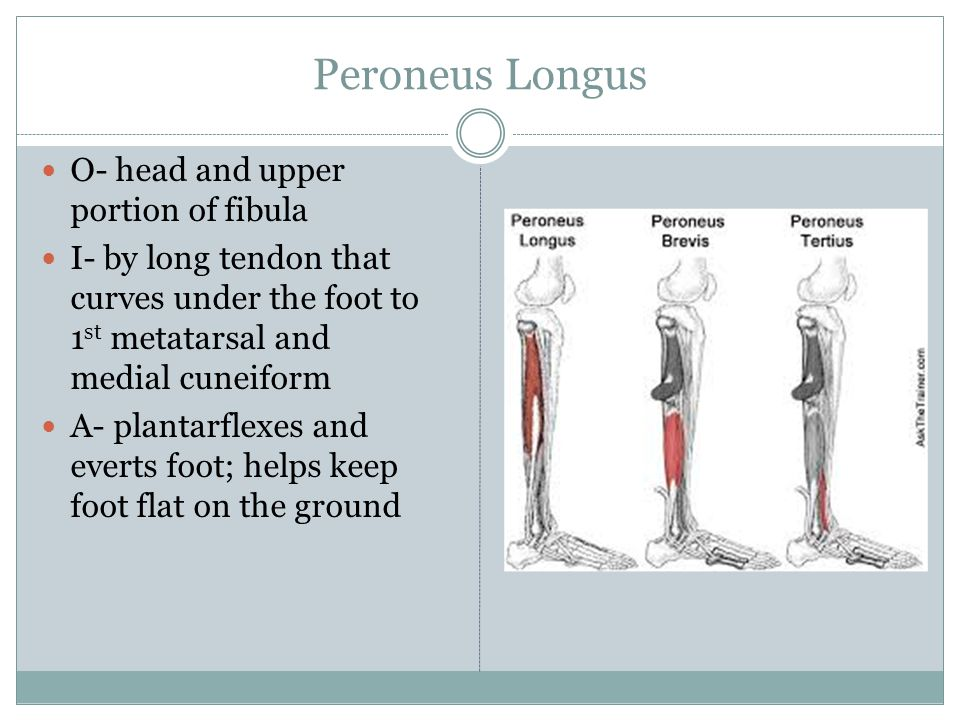 Peroneus Longus O- head and upper portion of fibula