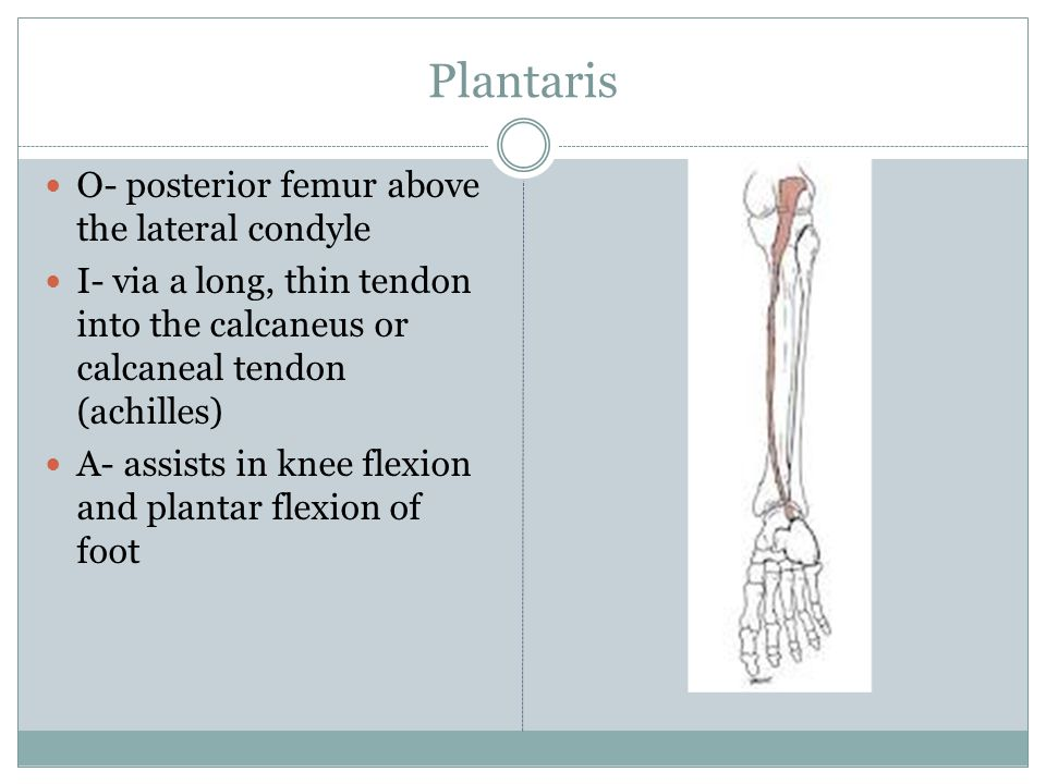 Plantaris O- posterior femur above the lateral condyle