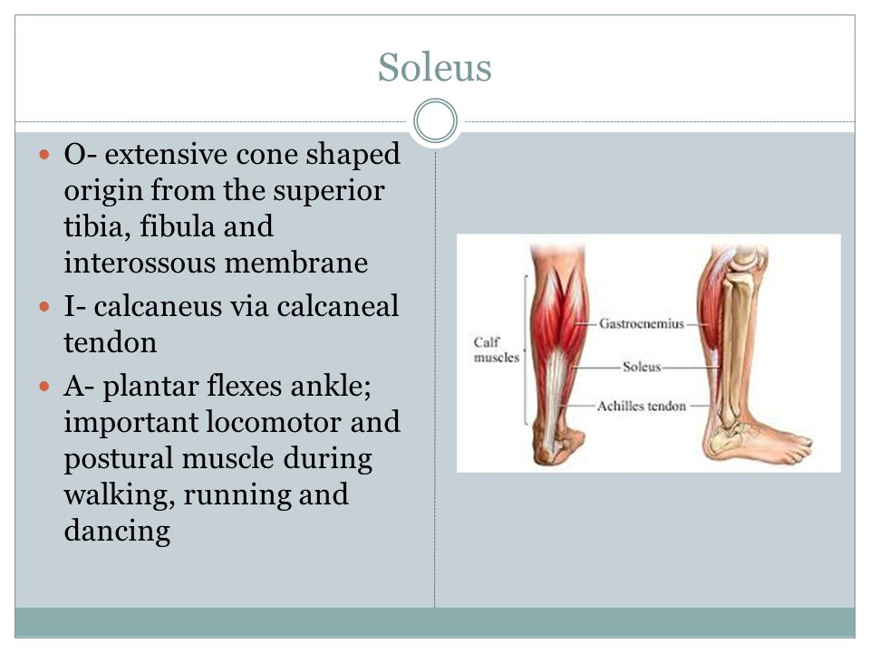 Soleus O- extensive cone shaped origin from the superior tibia, fibula and interossous membrane. I- calcaneus via calcaneal tendon.