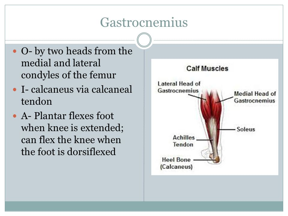 Gastrocnemius O- by two heads from the medial and lateral condyles of the femur. I- calcaneus via calcaneal tendon.