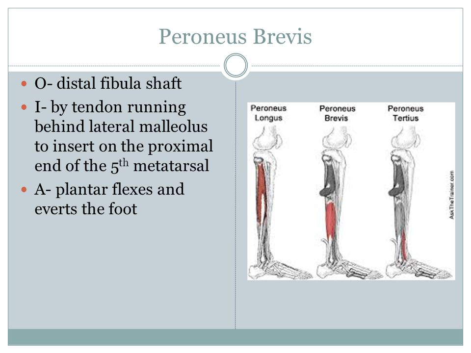 Peroneus Brevis O- distal fibula shaft