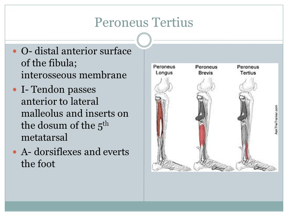 Peroneus Tertius O- distal anterior surface of the fibula; interosseous membrane.