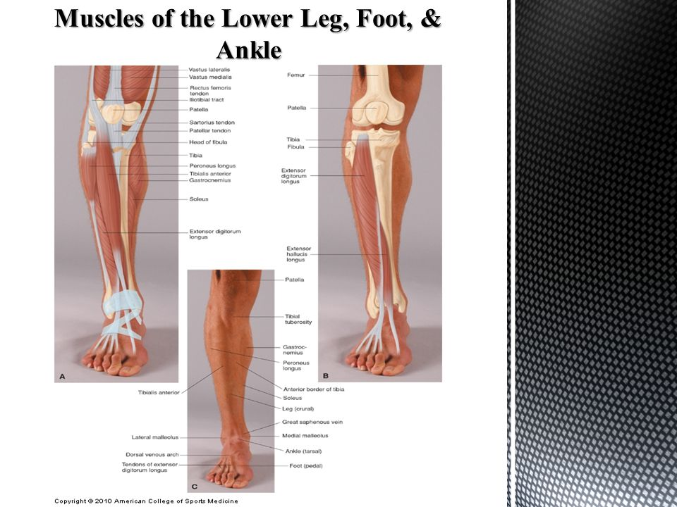 Anatomy of The Foot & Ankle - ppt download