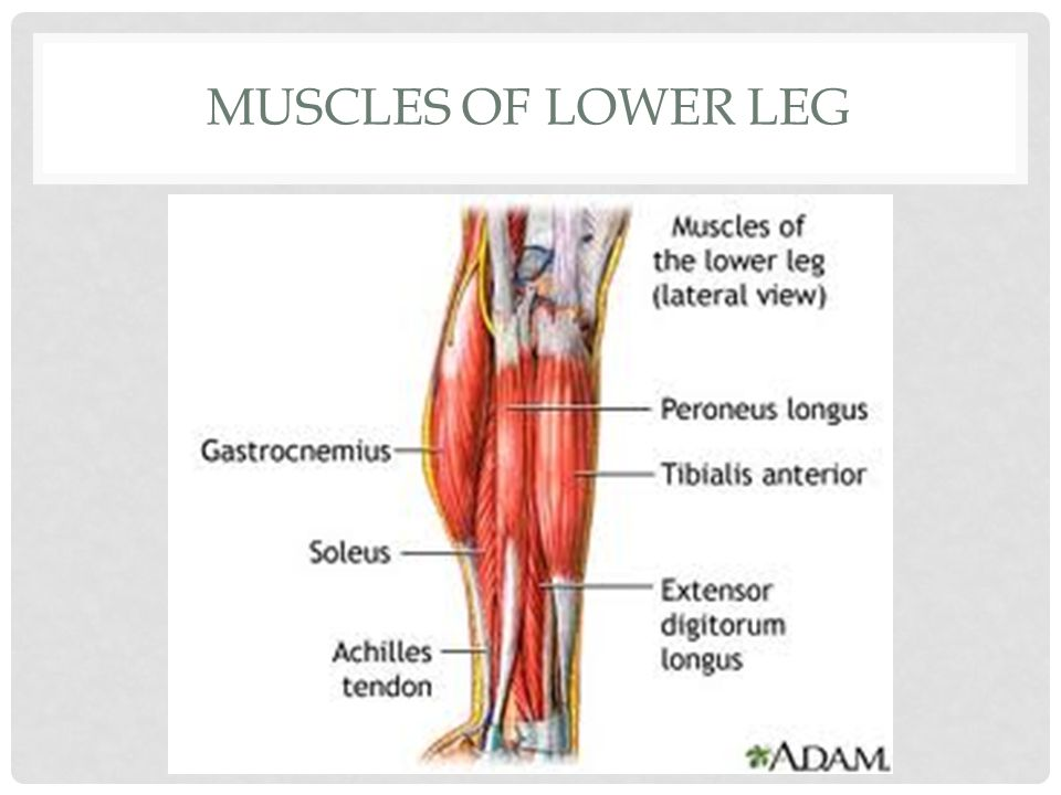 Muscles of Lower leg