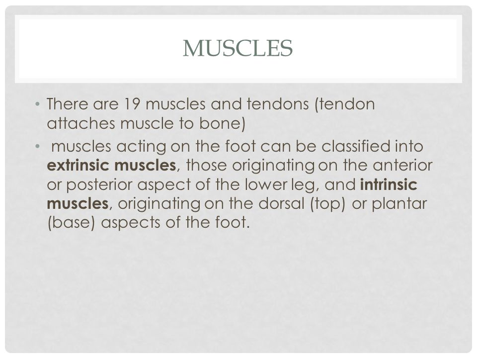 Muscles There are 19 muscles and tendons (tendon attaches muscle to bone)