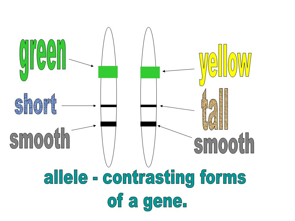 allele - contrasting forms