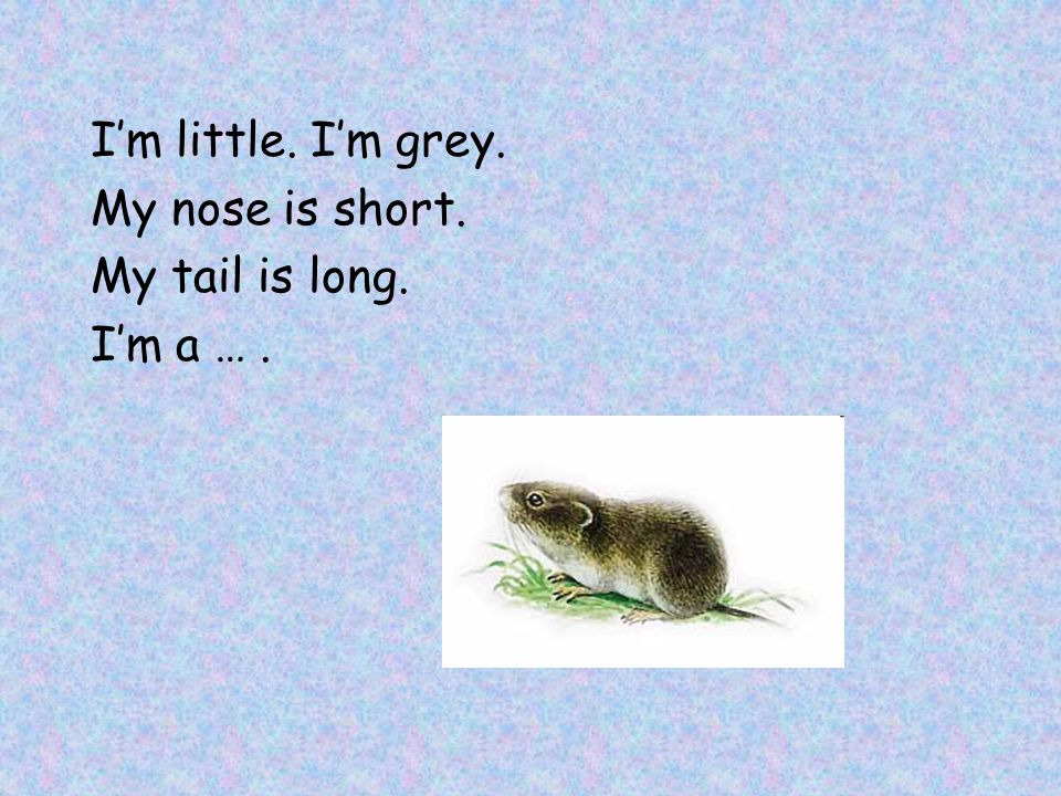 I'm little. I'm grey. My nose is short. My tail is long. I'm a … .