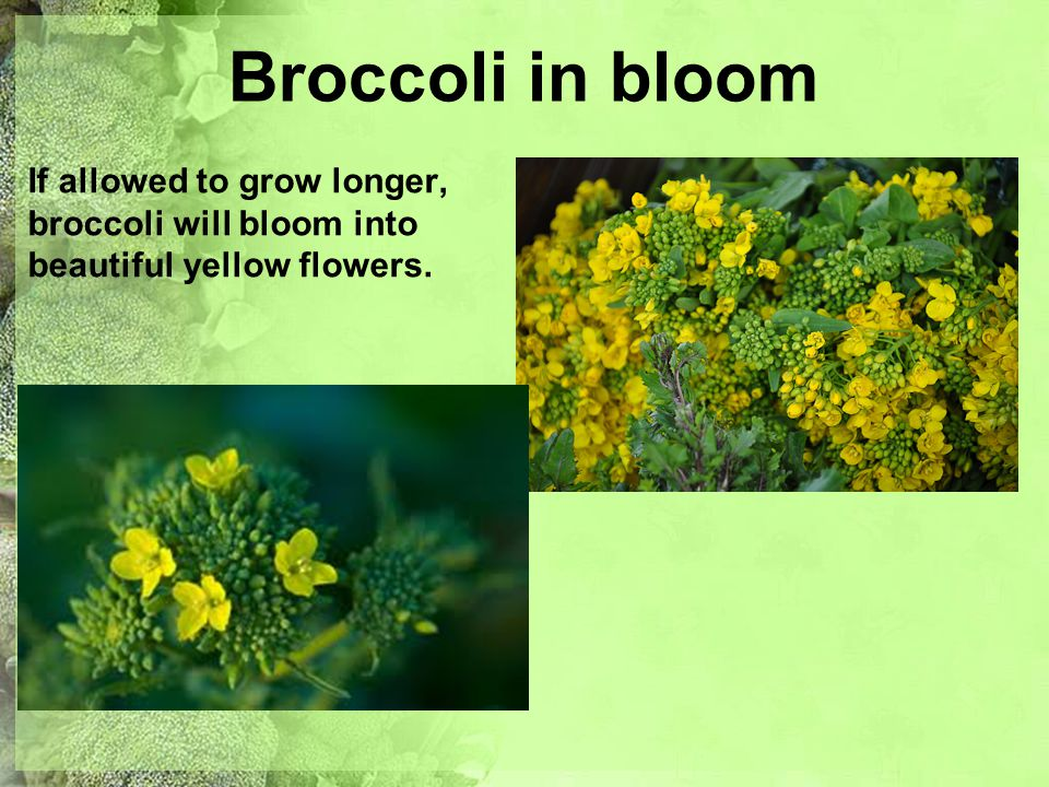 Beautiful broccoli ppt video online download 13 broccoli in bloom if allowed to grow longer broccoli will bloom into beautiful yellow flowers mightylinksfo