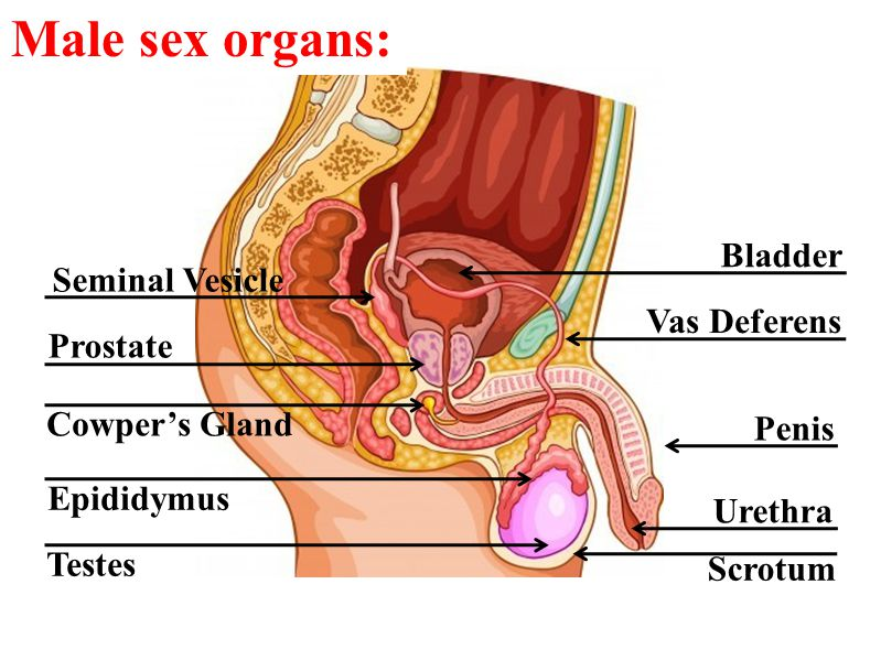 Male Anatomy Diagram Organs Glands Search For Wiring Diagrams