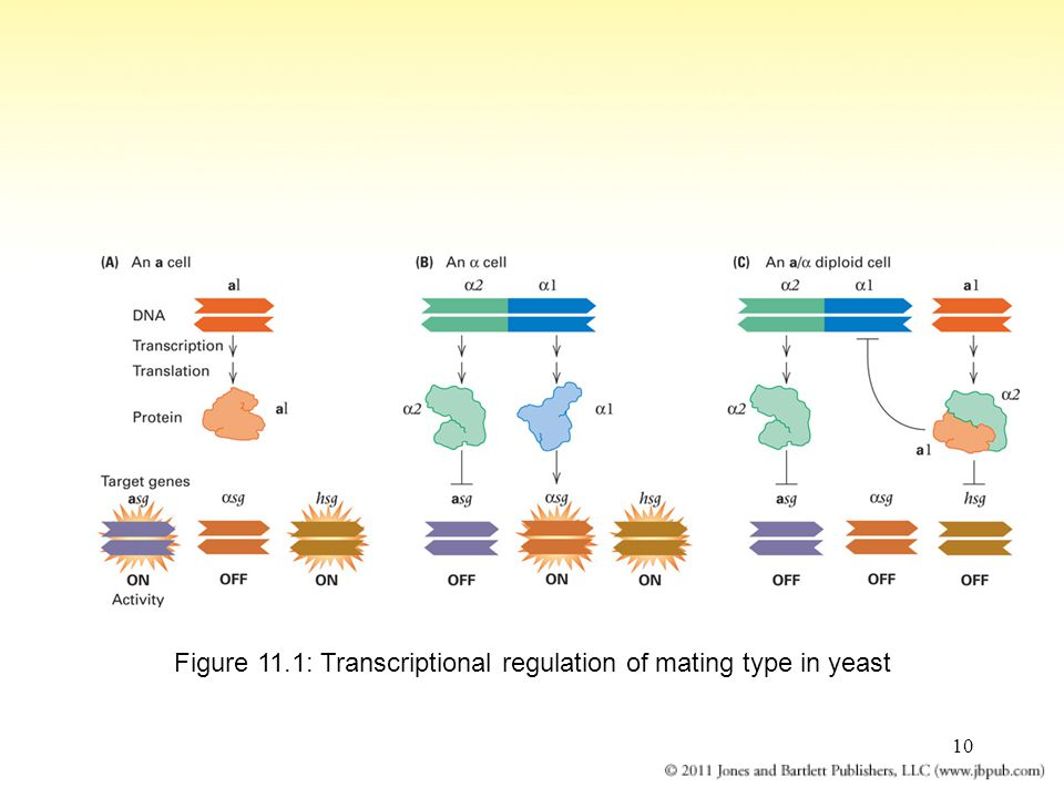 Figure 11.1: Transcriptional regulation of mating type in yeast