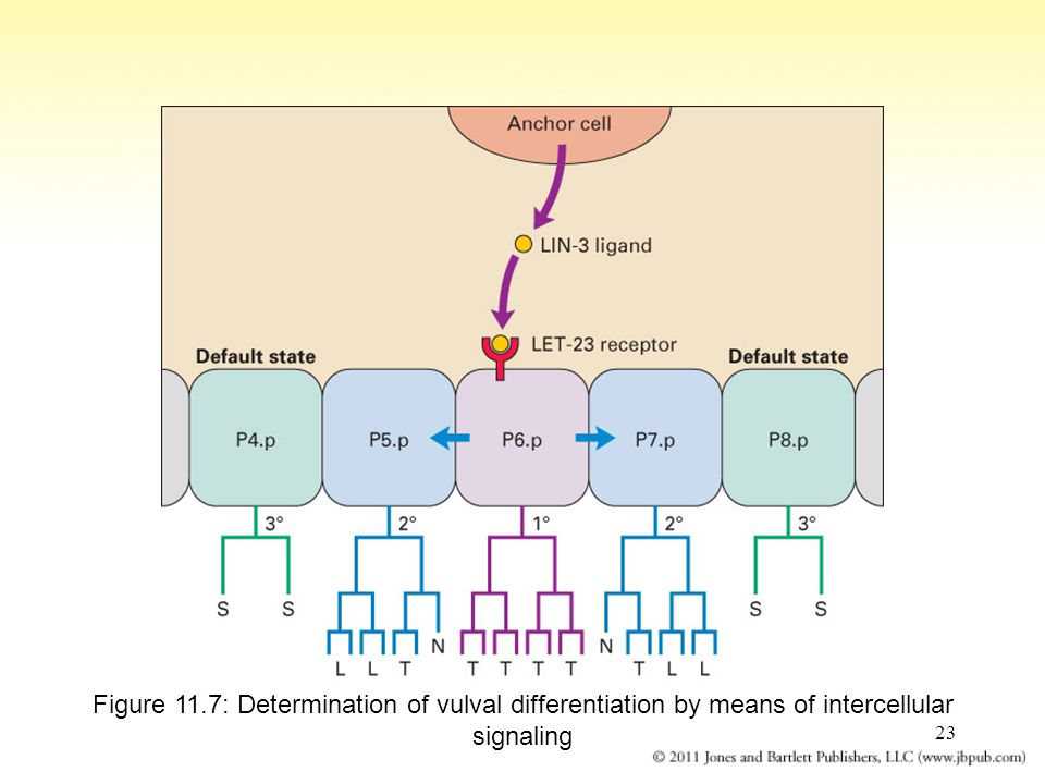 Figure 11.7: Determination of vulval differentiation by means of intercellular signaling
