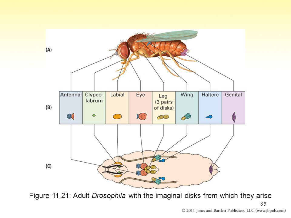 Figure 11.21: Adult Drosophila with the imaginal disks from which they arise