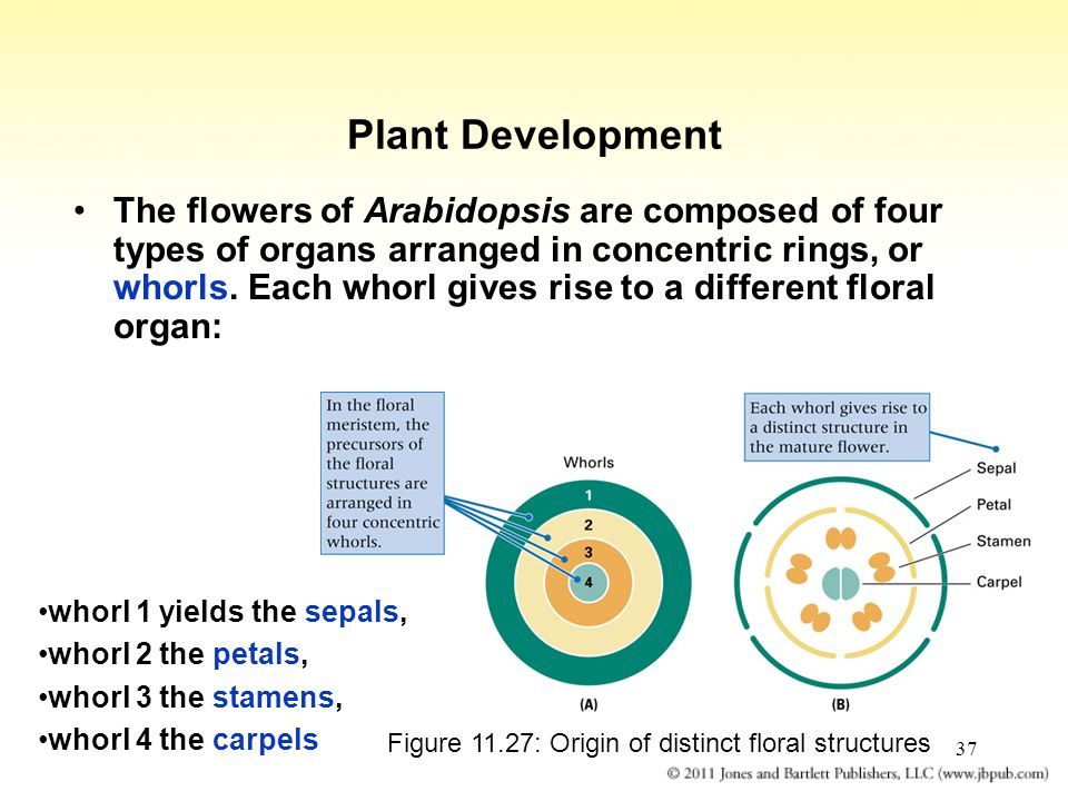 Figure 11.27: Origin of distinct floral structures