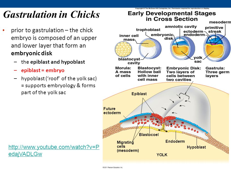gastrulation of chick embryo