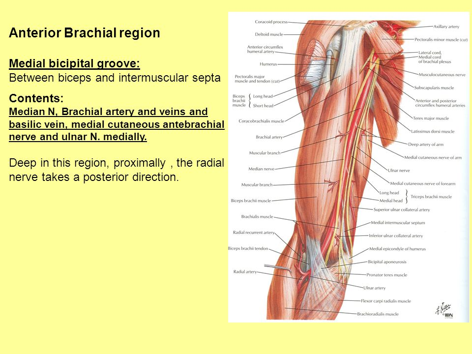 Bones And Muscles And Regional Anatomy Of The Upper Limb Part2 Ppt