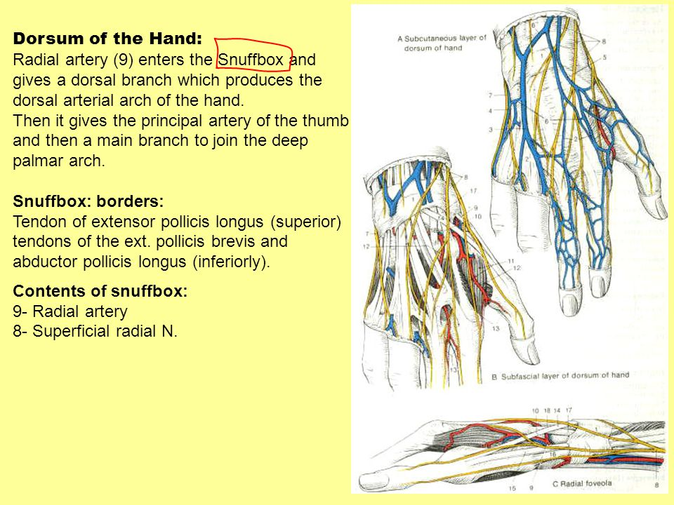 Dorsum of the Hand: Radial artery (9) enters the Snuffbox and. gives a dorsal branch which produces the.