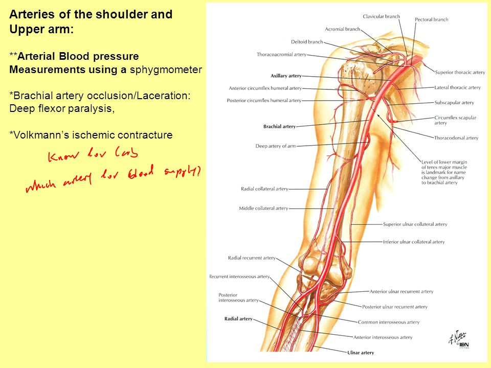 Arteries of the shoulder and Upper arm: