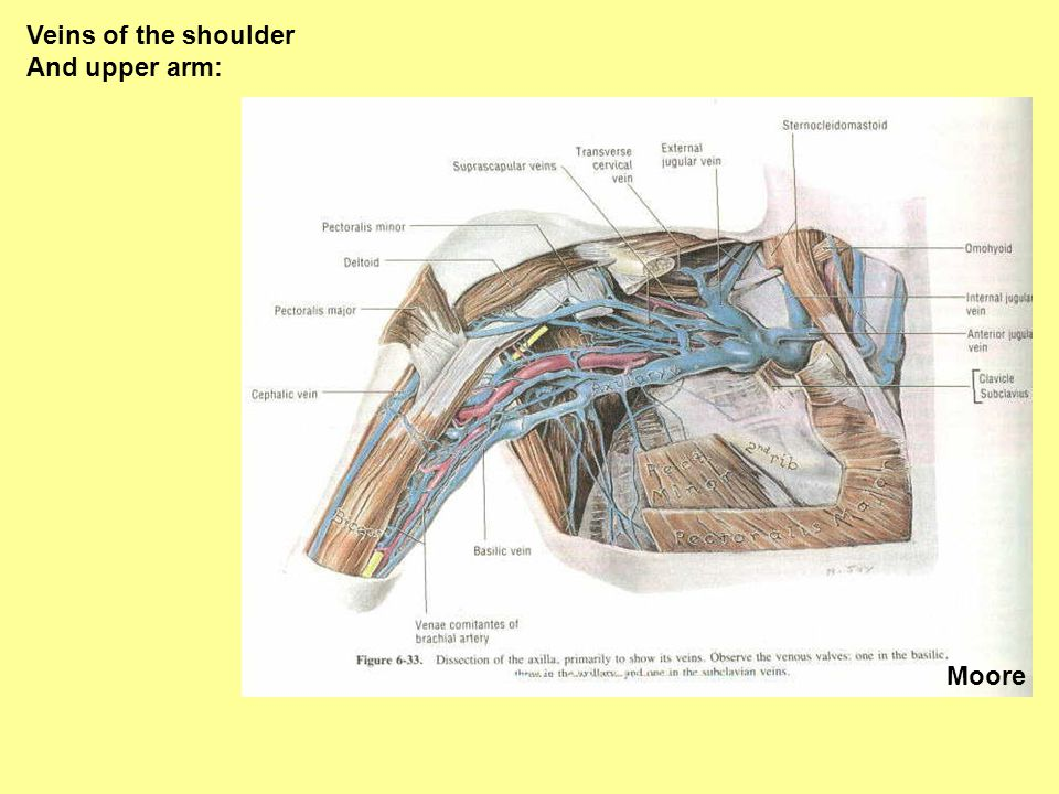 Veins of the shoulder And upper arm: Moore
