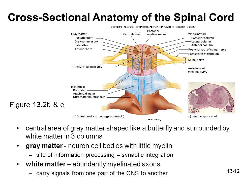 Cross Sectional Anatomy Of Spinal Cord Choice Image - human body anatomy