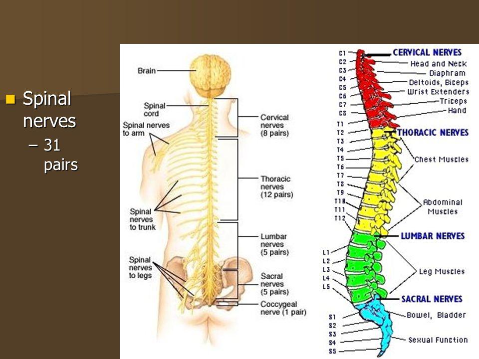 CENTRAL NERVOUS SYSTEM, SPINAL NERVES, CRANIAL NERVES - ppt video ...