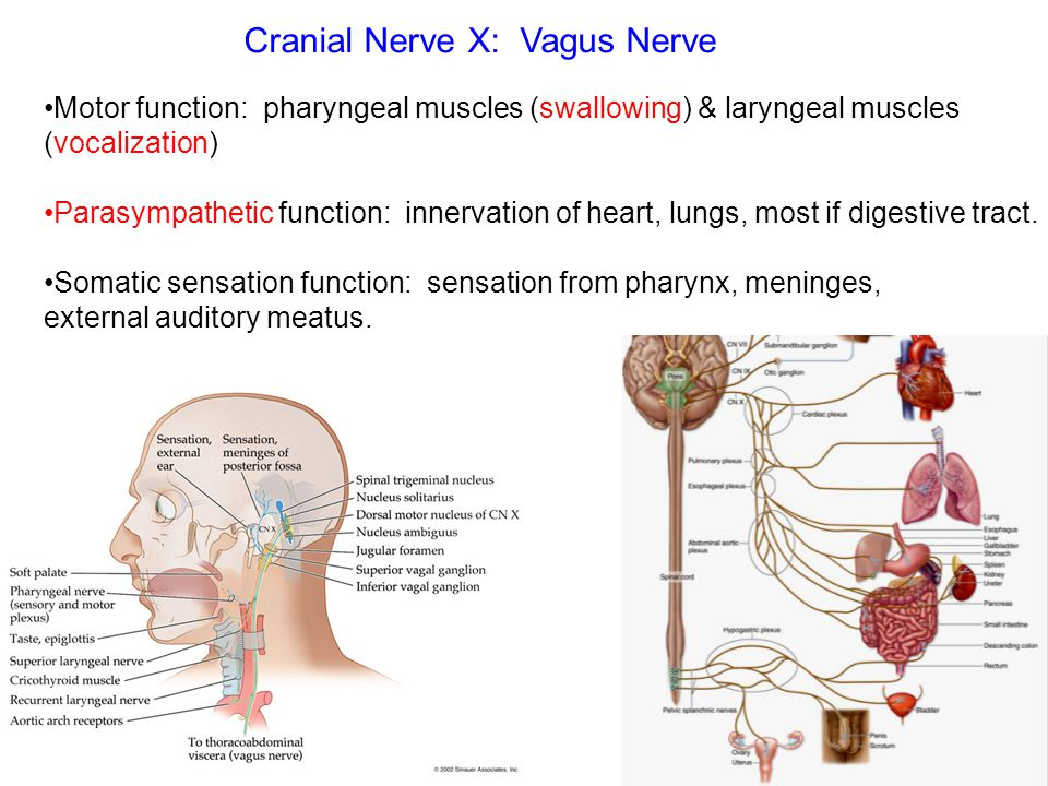 Vagus Cranial Nerve Choice Image - human anatomy organs diagram