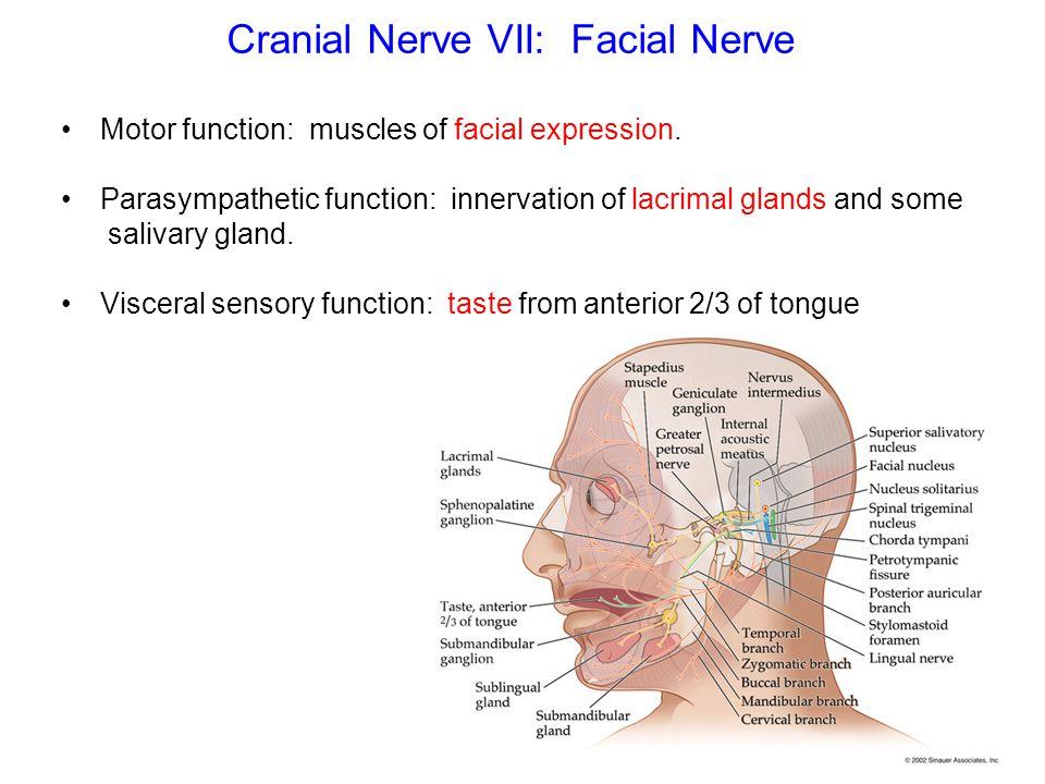 Luxury 7th Cranial Nerve Gift Human Anatomy Images