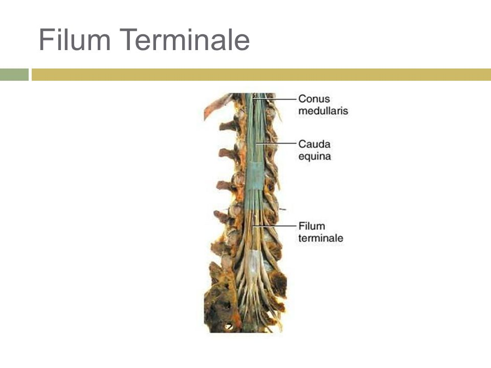 Spinal Cord Anatomy Physiology Ppt Download 20 cm langer, schmaler bindegewebsstrang, der sich vom der untere abschnitt wird als filum terminale externum bezeichnet. spinal cord anatomy physiology ppt