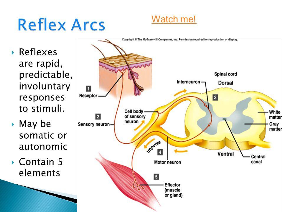 Nerve impulses and reflex arcs ppt video online download 20 reflex arcs watch ccuart Gallery