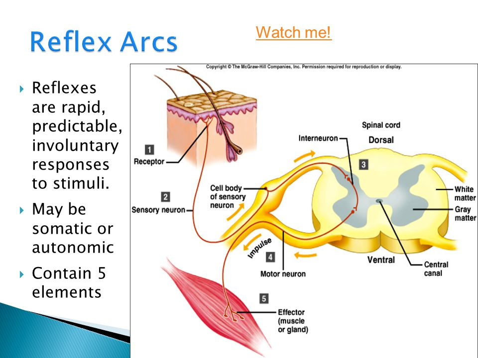 Reflex Arcs Watch me! Reflexes are rapid, predictable, involuntary responses to stimuli. May be somatic or autonomic.