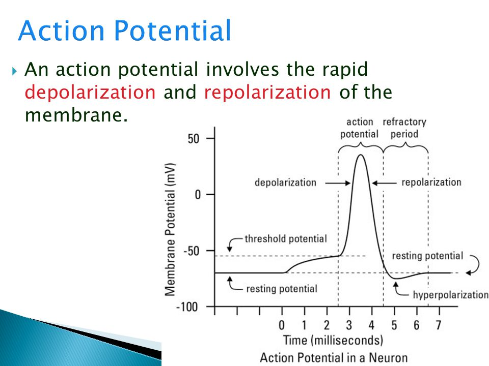 Action Potential An action potential involves the rapid depolarization and repolarization of the membrane.