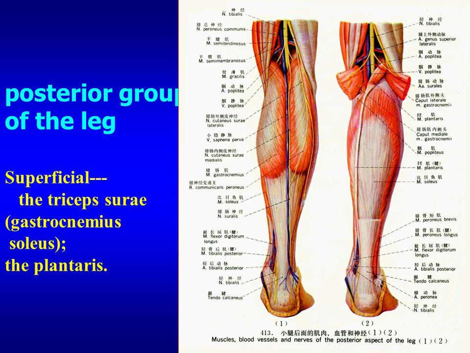 Tibialis Posterior Anatomy Image collections - human body anatomy