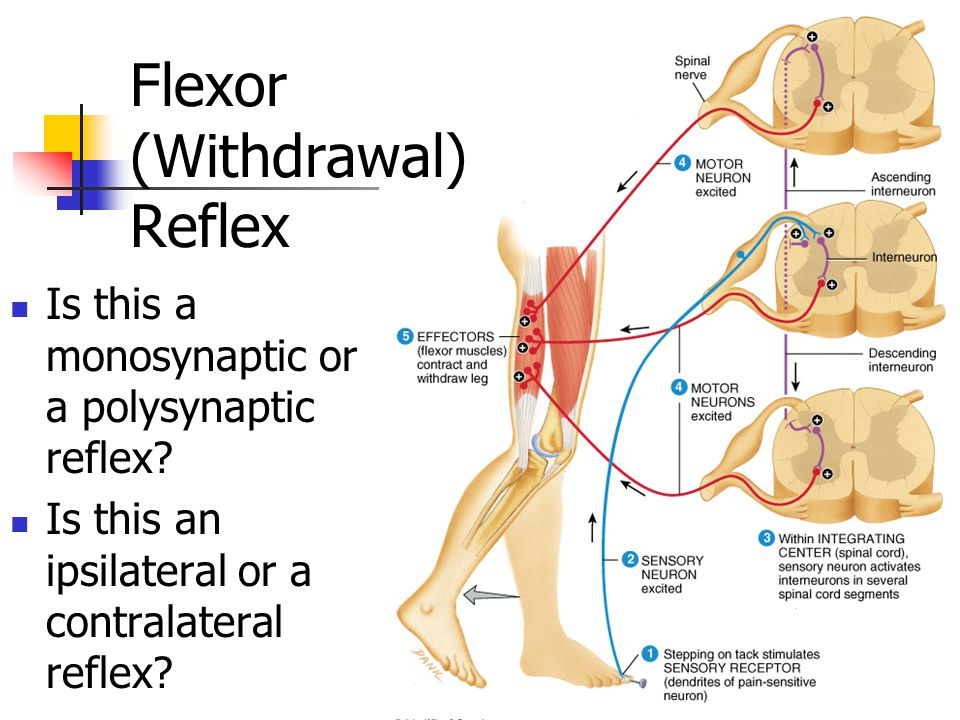 Chapter 13 the spinal cord spinal nerves and spinal reflexes flexor withdrawal reflex ccuart