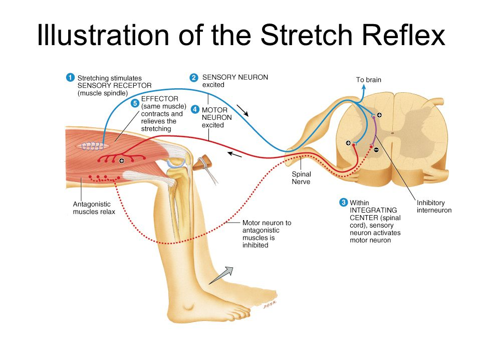Integration center reflex arc diagram all kind of wiring diagrams spinal reflexes automatic response to change in environment ppt rh slideplayer com simple reflex arc diagram ccuart Image collections