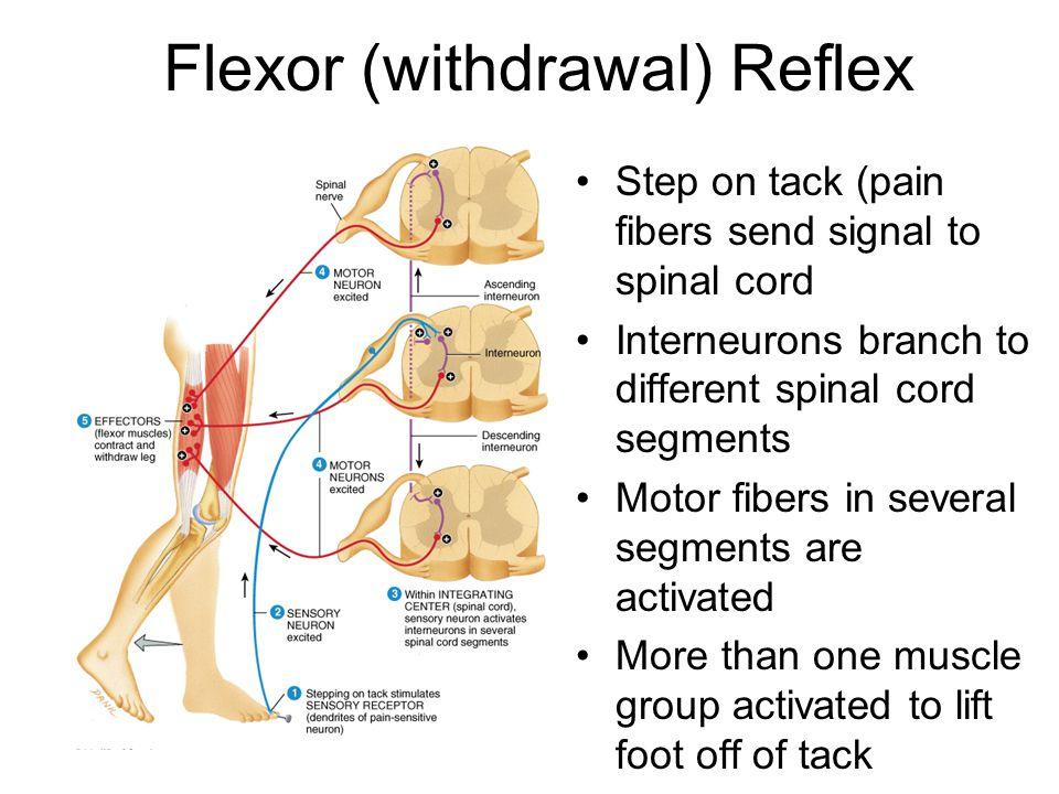 Flexor+%28withdrawal%29+Reflex