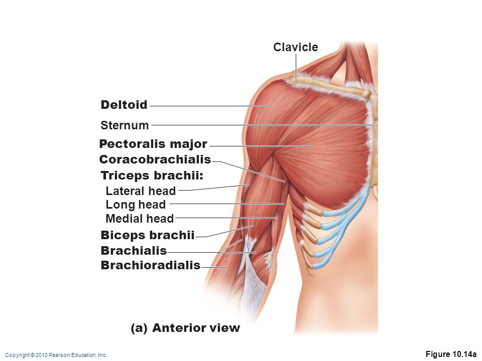 Muscles Of The Body Part C Ppt Download