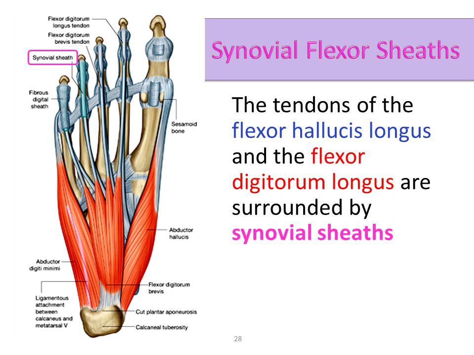Ungewöhnlich Flexor Hallucis Longus Ideen - Menschliche Anatomie ...