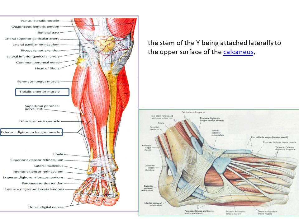 Foot Anatomy Dr Rania Gabr Ppt Video Online Download