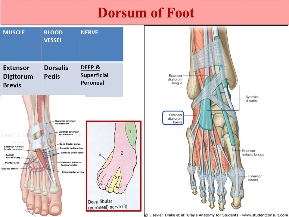 Foot Anatomy Dr Rania Gabr. - ppt video online download