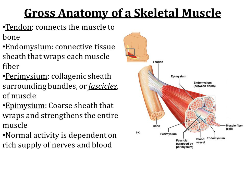 The Muscular System Chapters 9 Ppt Video Online Download