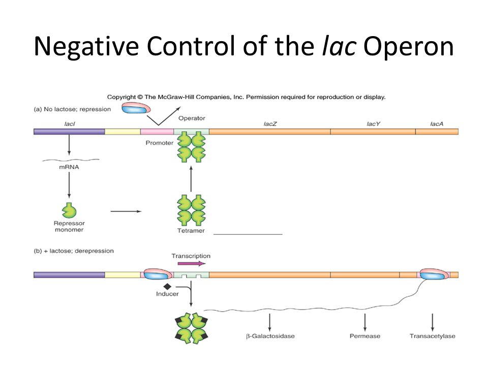 Operons Fine Control Of Bacterial Transcription Ppt Download