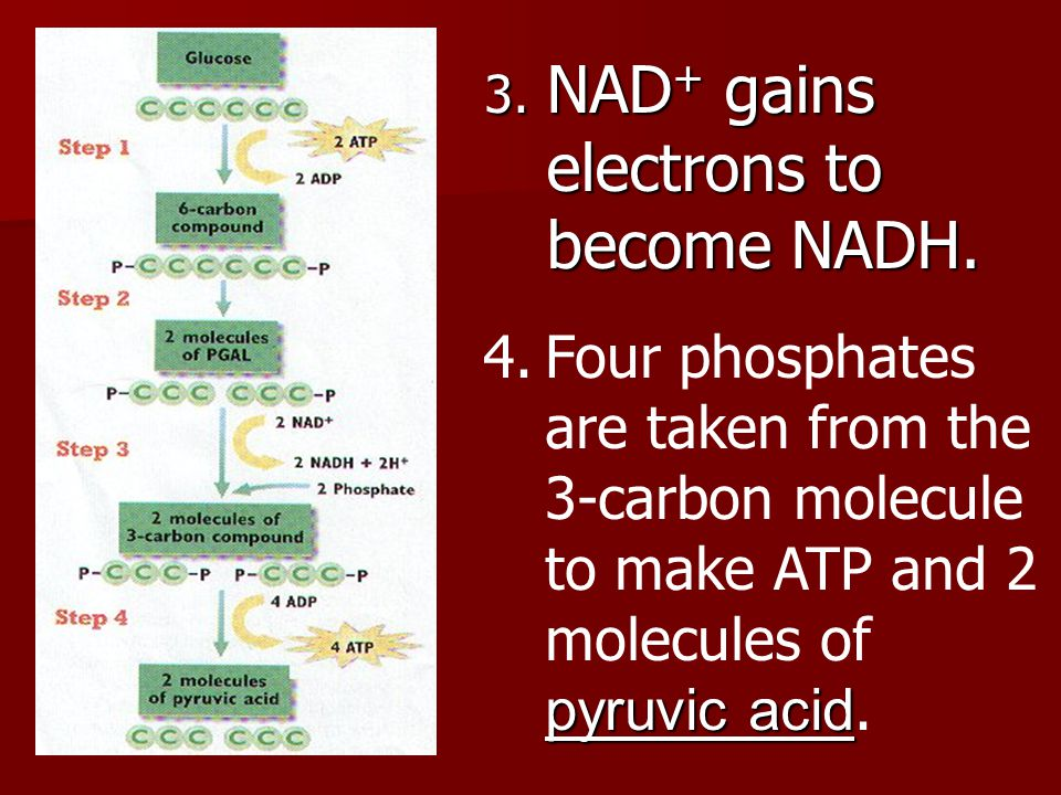 NAD+ gains electrons to become NADH.