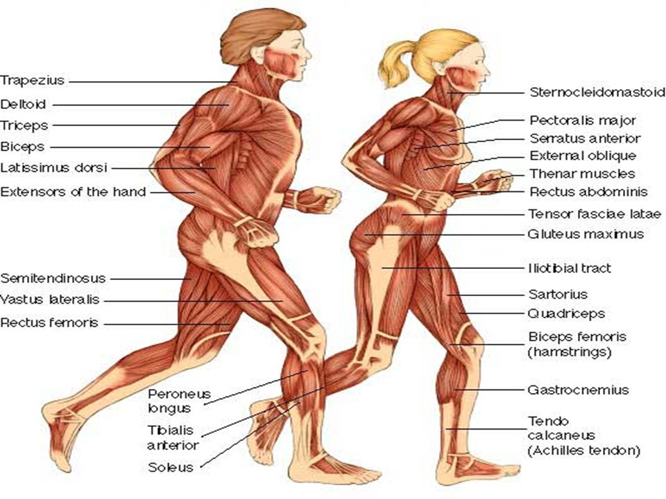 Muscular System Unit F Ppt Video Online Download