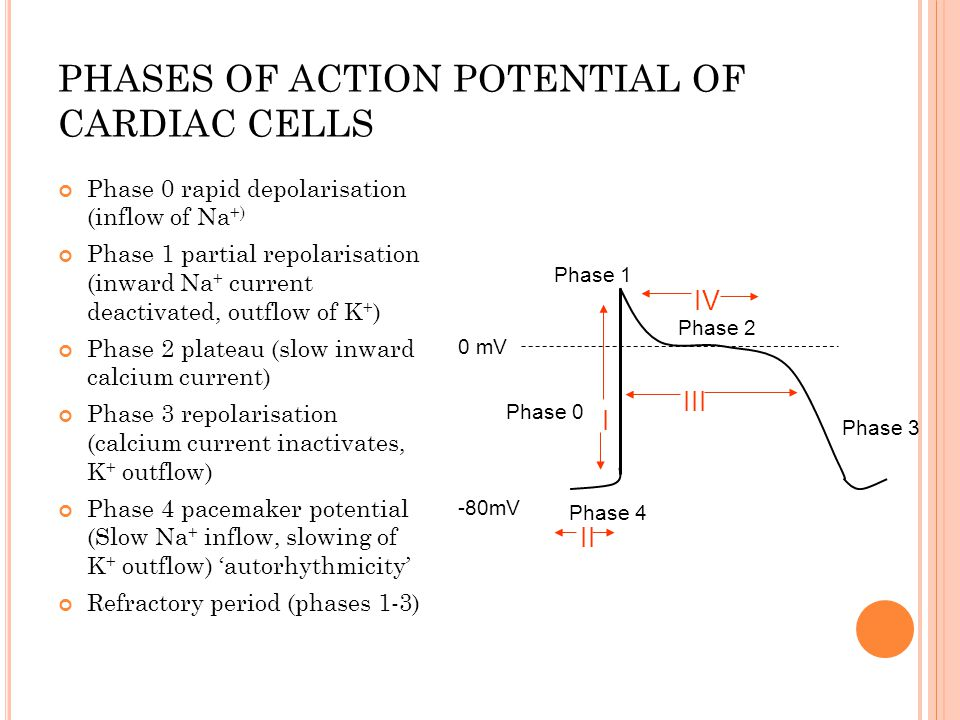 Phases Of Action Potential Of Cardiac Cells