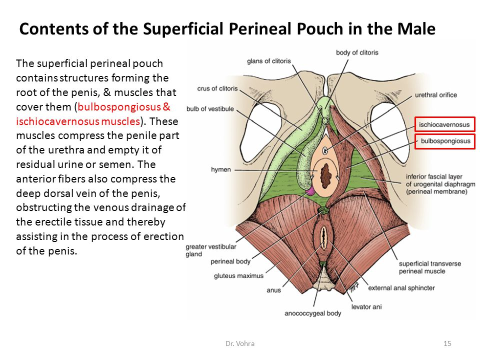 Contents of the Superficial Perineal Pouch in the Male